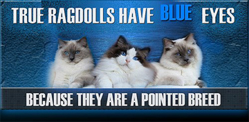 Ragdolls have blue eyes