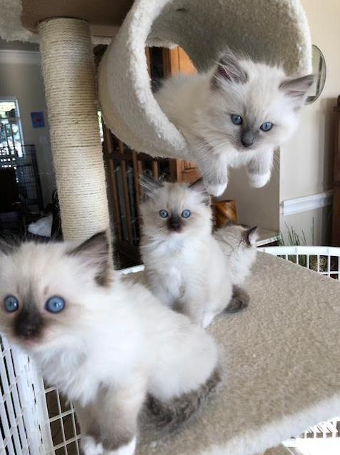 Ragdoll Cat Breeder Ragdoll Kittens Sanger Texas BadgerRags